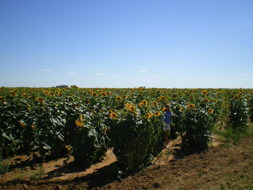 sunflowers-north-west-province