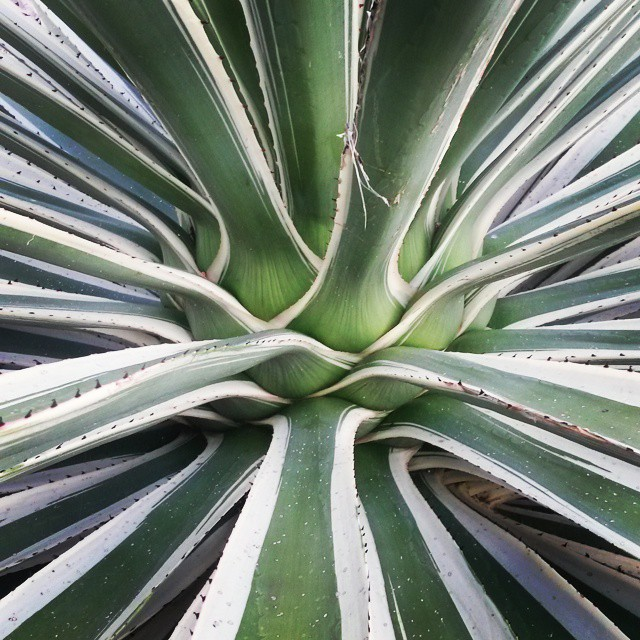 Patterns in nature. Aloe.  #naturepics #gardenroute