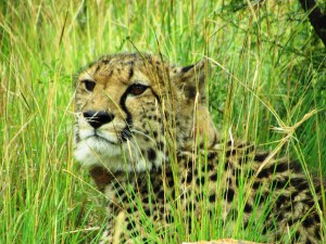 A cheetah tracking experience is worthwhile.