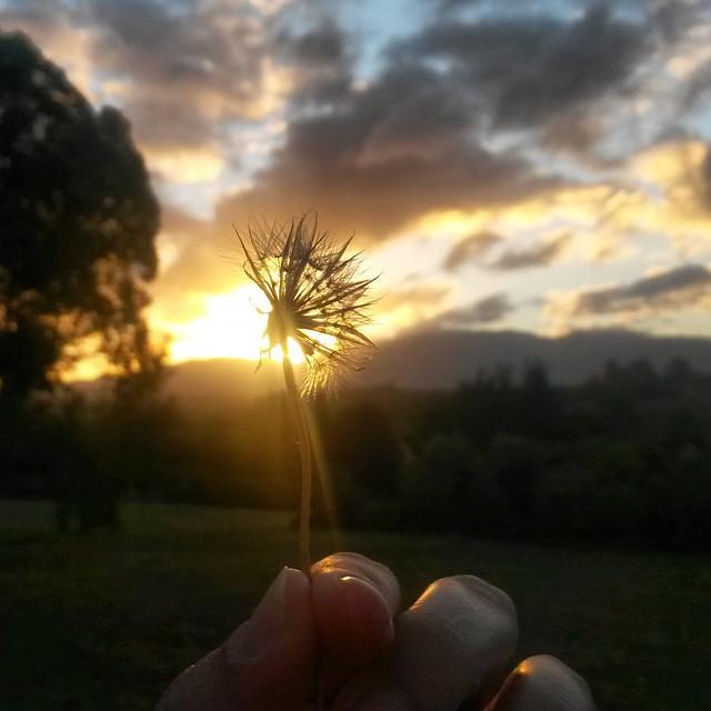 Dandelion sunset #latergram from Elgin farm. #Overberg #sunset #summer #flowers #nature #clouds #sky