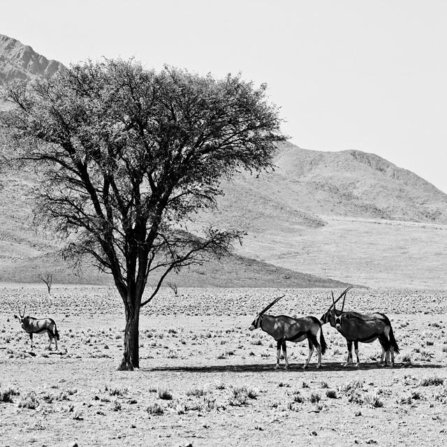 Celebrating #EarthDay remembering the beauty of the Namib. Protect that which you love. #travelnamibia  #latergram #travelwriting #travelandbeyond #travelstoke #Africa #tree #desert #blackandwhite #gemsbok #iloveadventure