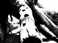 Acacia ancient