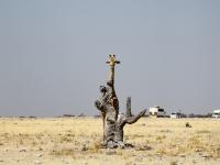 Giraffe, Etosha Namibia