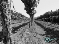Early morning vineyards