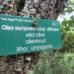 Wild Olive Tree